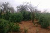 Plantação com cerca de 20 mil pés de maconha é encontrada em Jacobina